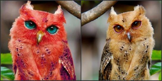 False - A Rare Red Owl - Snopes_com