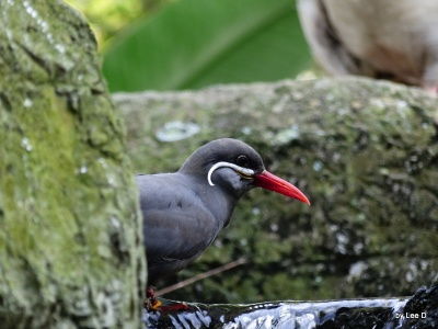 Inca Tern Lowry Park Zoo 12-31-15 by Lee