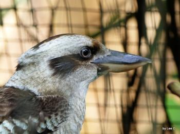 Kookaburra Lowry Park Zoo 12-31-15 by Lee