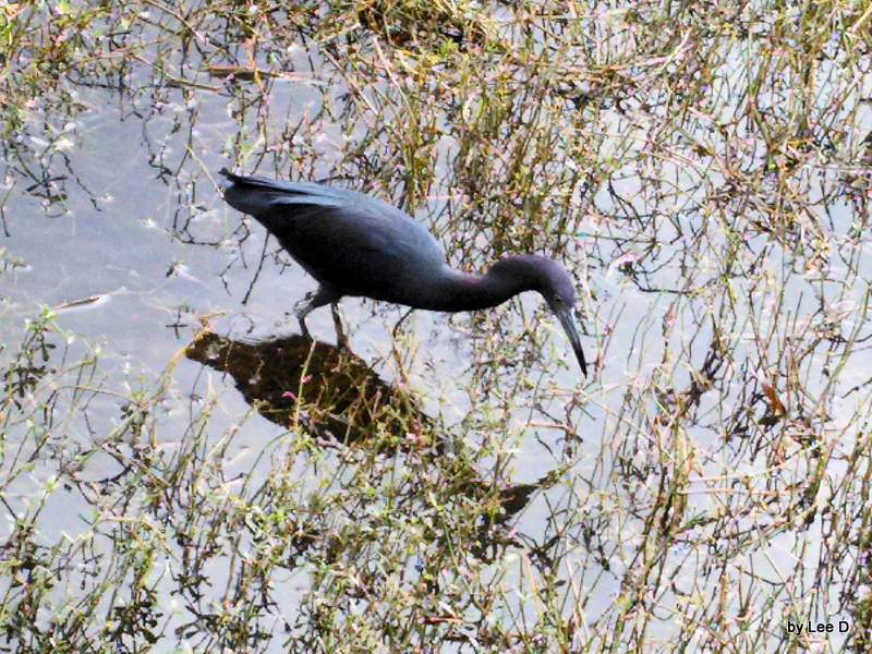 Little Blue Heron searching at S Lk Howard Park crop