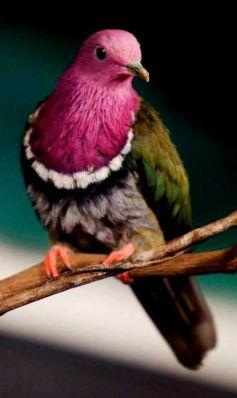 Nicobar Pigeon - False