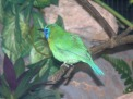 Blue-masked Leafbird (Chloropsis venusta) ©Online Zoo