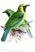 Bornean Leafbird (Chloropsis kinabaluensis) Drawing WikiC