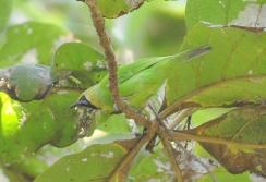 Jerdon's Leafbird (Chloropsis jerdoni) male WikiC