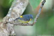 Yellow-rumped Flowerpecker (Prionochilus xanthopygius) ©Flickr Mark Louis Benedict