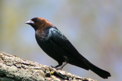Brown-headed Cowbird (Molothrus ater) ©WikiC