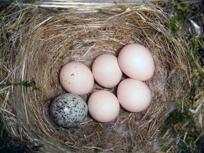 Brown-headed Cowbird (Molothrus ater) Egg in Eastern Phoebe Nest ©WikiC