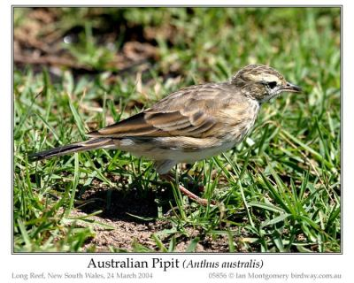 New Zealand Pipit (Anthus novaeseelandiae) by Ian