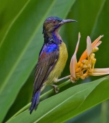 Brown-throated Sunbird (Anthreptes malacensis) ©WikiC