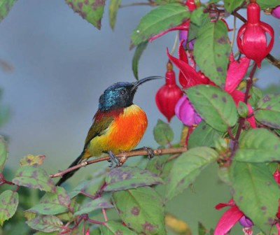 Green-tailed Sunbird (Aethopyga nipalensis) by Peter Ericsson