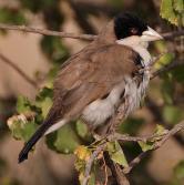Black-capped Social Weaver (Pseudonigrita cabanisi) ©WikiC
