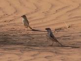 Desert Sparrow (Passer simplex) ©WikiC
