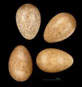 Desert Sparrow (Passer simplex) Eggs ©WikiC