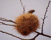 Grey-capped Social Weaver (Pseudonigrita arnaudi) ©WikiC