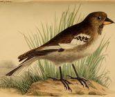 Henri's Snowfinch (Montifringilla henrici) ©Drawing WikiC