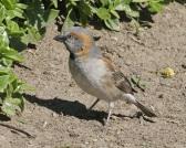 Kenya Sparrow (Passer rufocinctus) ©WikiC