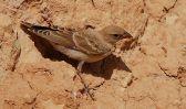 Pale Rockfinch (Carpospiza brachydactyla) ©WikiC