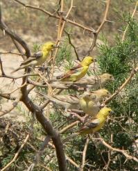 Sudan Golden Sparrow (Passer luteus) ©WikiC