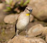Yellow-throated Sparrow (Gymnoris xanthocollis)©WikiC