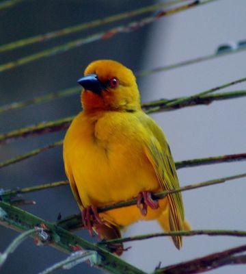 Eastern Golden Weaver (Ploceus subaureus) ©WikiC