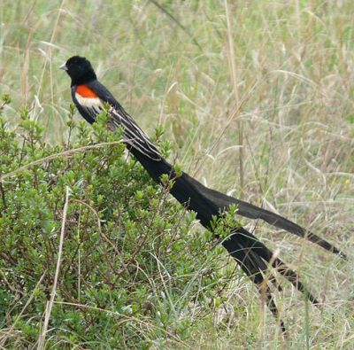 Long-tailed Widowbird (Euplectes progne) ©WikiC