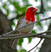 Red-headed Weaver (Anaplectes rubriceps) ©WikiC