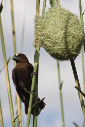 Thick-billed Weaver (Amblyospiza albifrons) - male with nest