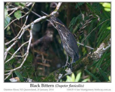 Black Bittern (Dupetor flavicollis) by Ian
