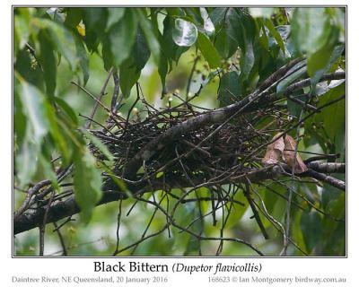Black Bittern (Dupetor flavicollis) Nest by Ian