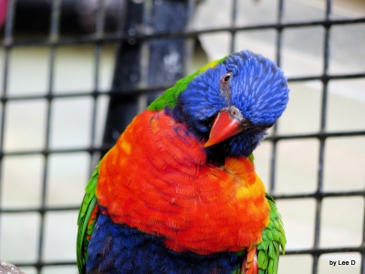 Rainbow Lorikeet by Lee at Lowry Park Zoo