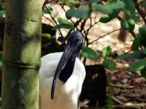 Sacred Ibis Lowry Park Zoo