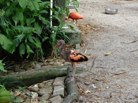 Scarlet Ibis (Eudocimus ruber) Juvenile Lowry Park Zoo