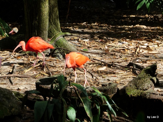 Scarlet Ibis adults in the Aviary