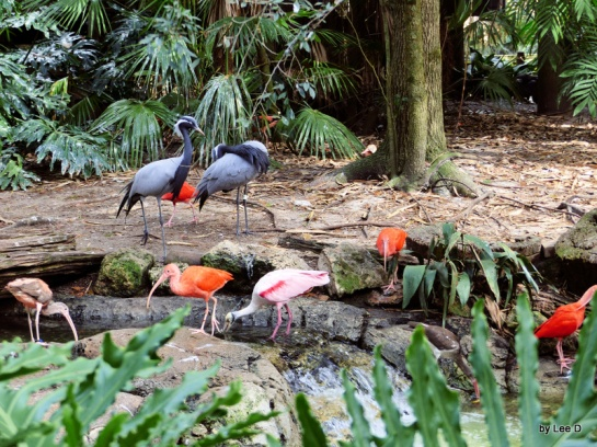 Scarlet Ibis Adults and juvenile, Cranes and Spoonbill in Aviary