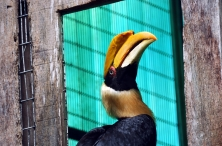 Great Hornbill (Buceros bicornis) at Houston Zoo by Dan