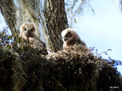Great Horned Owl Youngsters at Circle B Bar Reserve by Lee