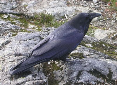 Common Raven at Cypress Provincial Park, British Columbia ©WikiC