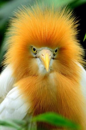 Cattle Egret in breeding plumage – that's a wrap! ©pinimg.com