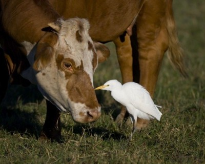 "Cattle Egret picks bugs off face of bovine ""neighbor"" (cow)"