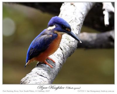 Azure Kingfisher (Ceyx azurea) by Ian