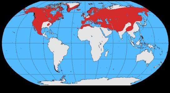 Corvus_corax_map ©WikiC