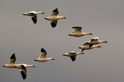 Geese in V Formation ©Hamid Hajihusseini