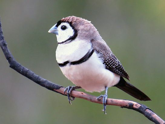 Double-barred Finch (Taeniopygia bichenovii) ©WikiC