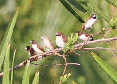 Five-colored Munia (Lonchura quinticolor) ©WikiC
