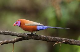 Sunday Inspiration – Waxbills and Allies I