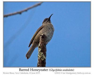 Barred Honeyeater (Glycifohia undulata) by Ian