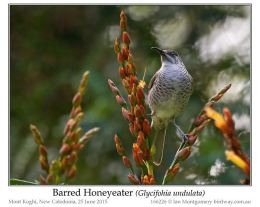 Ian's Bird of the Week – Barred Honeyeater