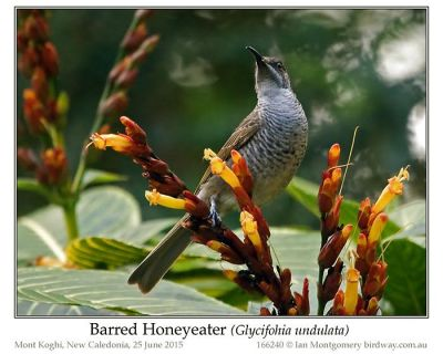 Barred Honeyeater (Glycifohia undulata) by Ian