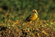 Abyssinian Longclaw (Macronyx flavicollis) ©WikiC