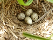 African Pipit (Anthus cinnamomeus) Eggs ©Wiki